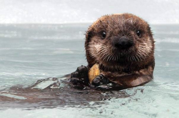 Kit the Sea Otter Pup