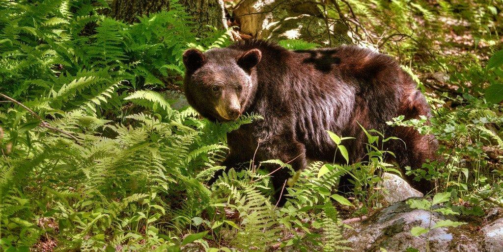 Bear in Shenandoah National Park