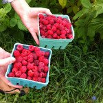 north fork raspberry picking