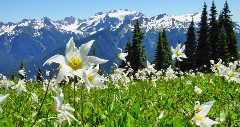OLYM_Avalanche_Lilies_edited