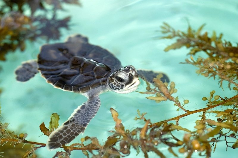 Loggerhead Marinelife Center- baby sea turtle