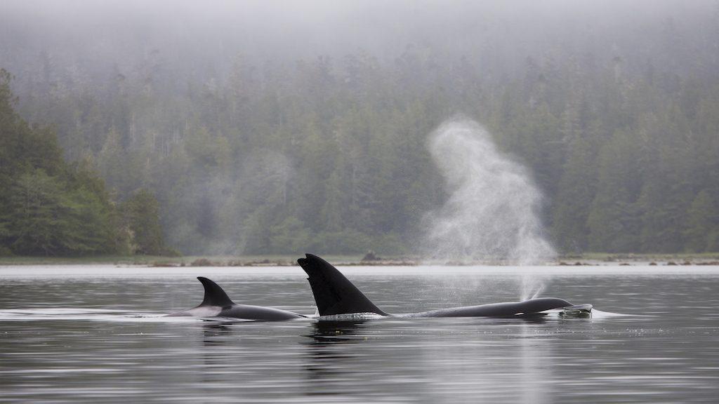 British Columbia Whales