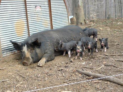 Pigs at Stone Barns