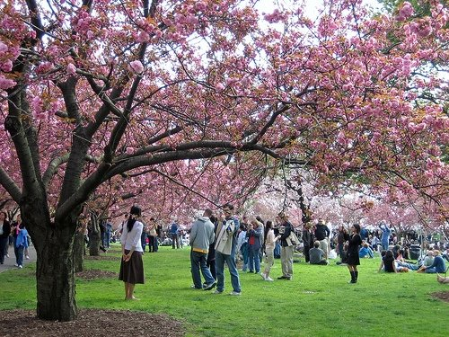 BBG Cherry Blossoms