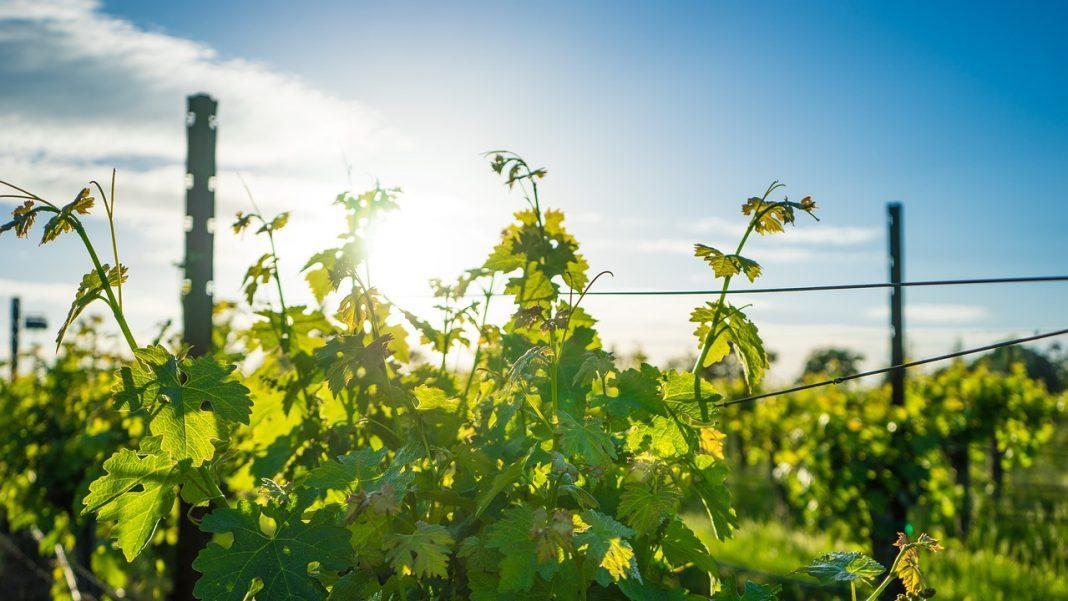 Gorgeous Vineyard