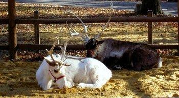 si zoo caribou