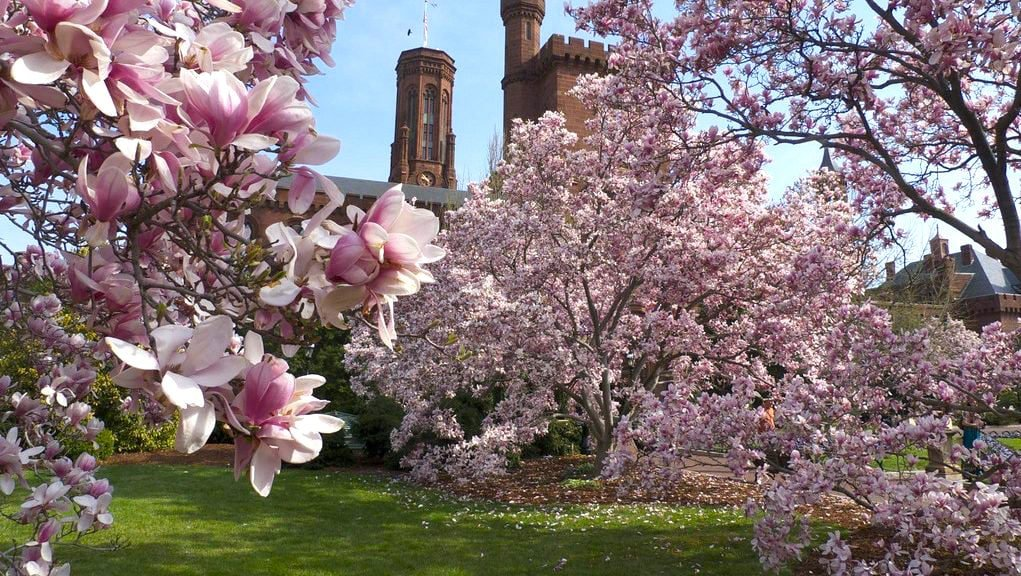 Cherry Blossoms in washington D.C. Enid A. Haupt Garden
