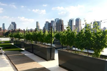 Rooftop Red Vines