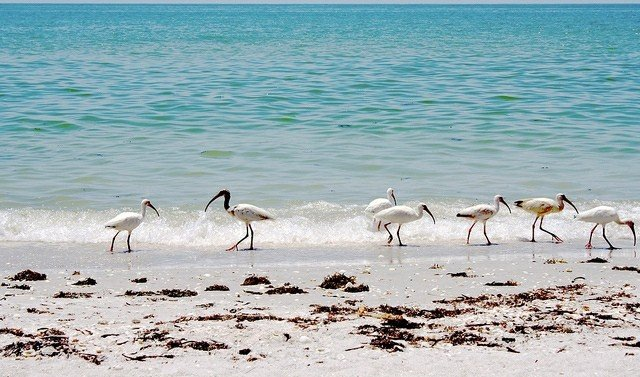 Ibis on Sanibel Island