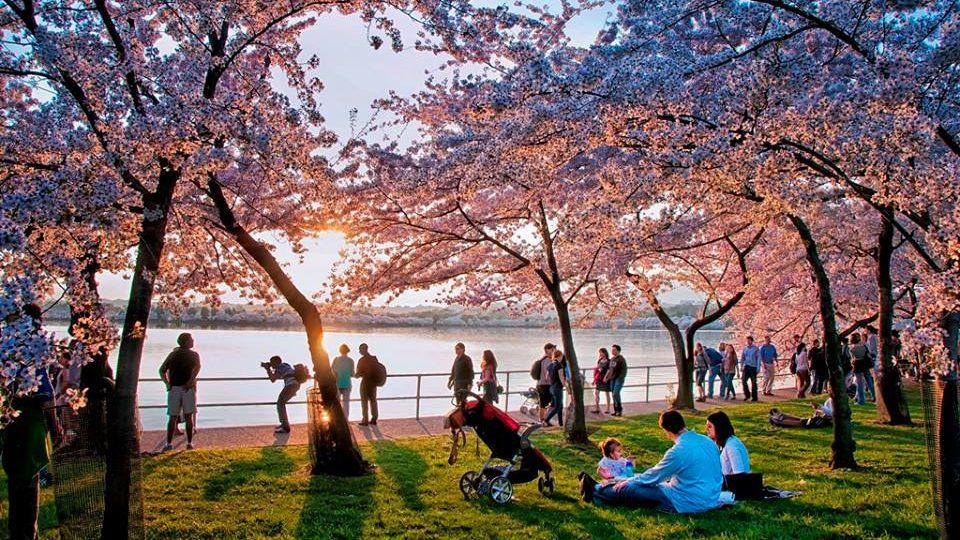 DC cherry blossom fest