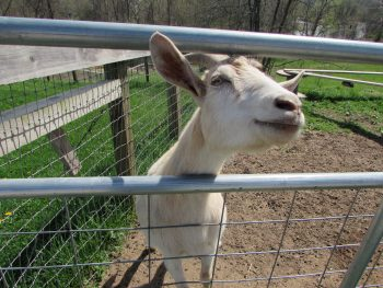 Goat_Woodstock-Fram