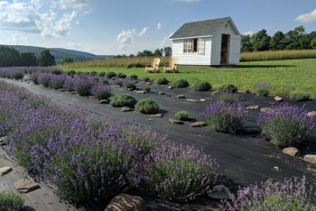 Kingfisher Lavender Farm