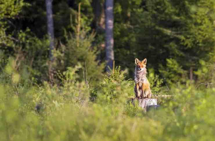 fox hunting trips